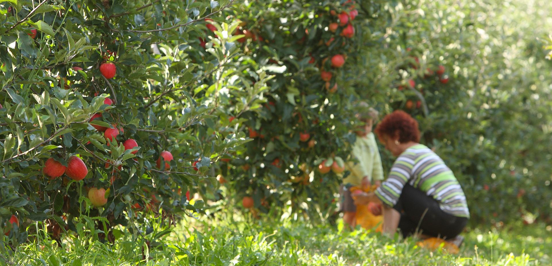 Domaine Darmandieu, pommes à cueillir en vergers