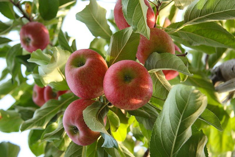 Domaine Darmandieu, pommes en verger