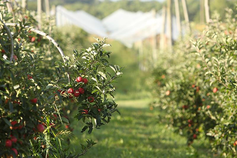 Domaine Darmandieu, verger à pommes