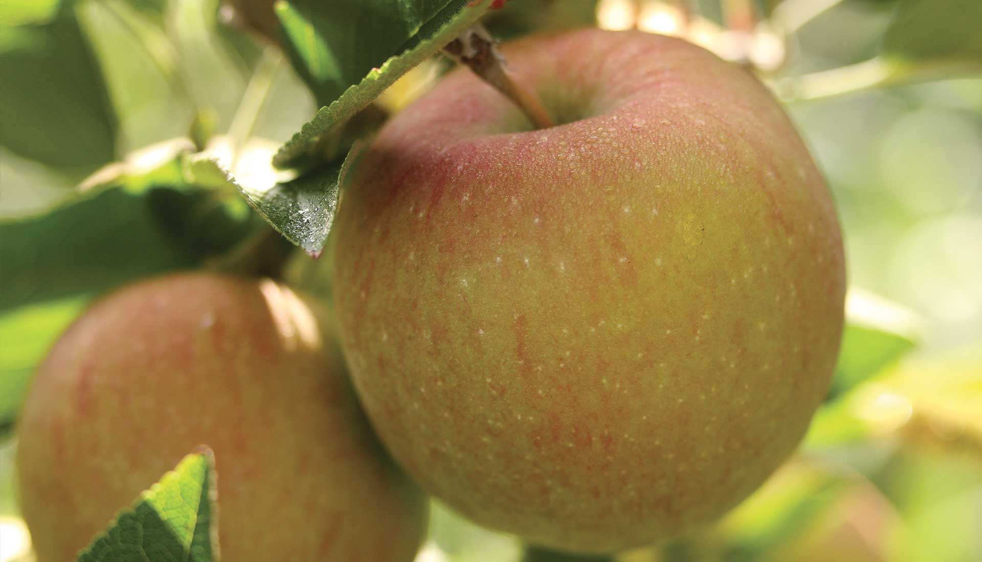 Domaine Darmandieu, pomme de verger en vente et à cueillir