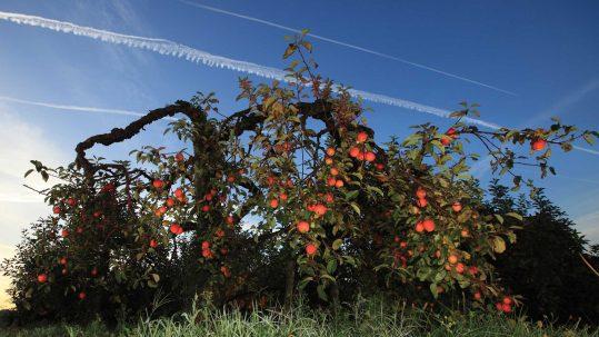 Domaine Darmandieu, pommes de verger à cueillir