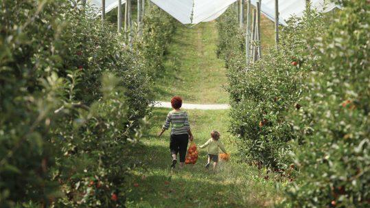 Domaine Darmandieu, Cueillette de pommes en verger